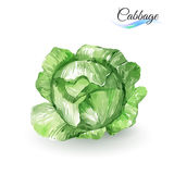 Cabbage. Watercolor Painting Cabbage. Hand-drawn on white background royalty free illustration