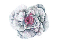 Cabbage watercolor painting illustration isolated on white background. Cabbage watercolor painting illustration isolated on white royalty free illustration