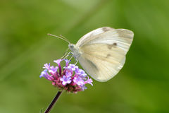 Cabbage White Royalty Free Stock Photography