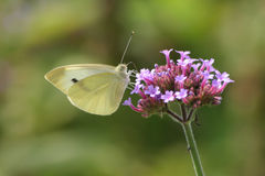 Cabbage White Stock Photo