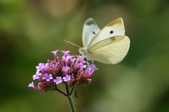 Cabbage White Stock Photography