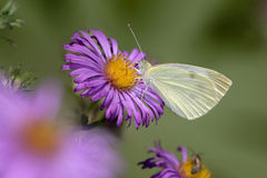 Cabbage White Royalty Free Stock Images