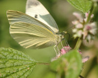 Free Cabbage White Stock Image - 20168611