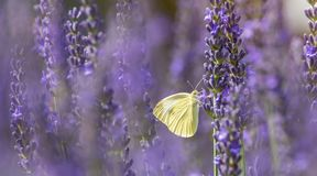 Cabbage white in the blooming lavender royalty free stock image