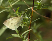Cabbage White Butterfly. Resting In Morning Sun Stock Photography