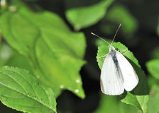Cabbage White Butterfly Stock Images