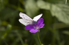 Cabbage white butterfly. On a purple flower, close-up Royalty Free Stock Images