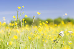 Cabbage white butterfly. On a yellow flowers field Royalty Free Stock Images