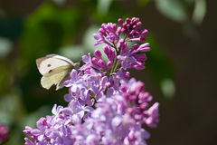 Cabbage white butterfly. On lavender lilacs Royalty Free Stock Photo