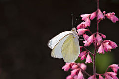 Cabbage White Butterfly. Closeup of butterflies and blooms in gardens Royalty Free Stock Photography