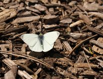 Cabbage White Butterfly. A cabbage white butterfly on wood chips Royalty Free Stock Photo