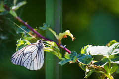 Cabbage white butterfly on a branch. The green background. Stock Photo