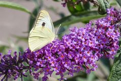 Cabbage White Butterfly on Buddleia Stock Image
