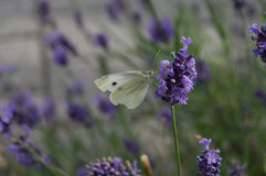 Cabbage white butterfly collecting nectar at lavander Stock Image
