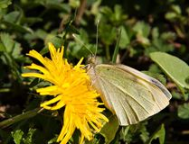 Cabbage white butterfly on dandelion Stock Photos