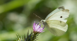 Cabbage White butterfly drinks flower nectar Royalty Free Stock Image