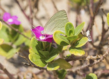 Cabbage white butterfly feeding on primrose flower Royalty Free Stock Photos