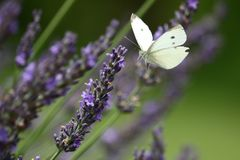 Cabbage White Butterfly in Lavender royalty free stock photos