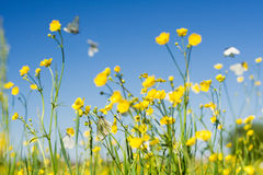 Cabbage white butterfly field. Plenty of cabbage white butterfly in flight on a background of the sky Royalty Free Stock Photo
