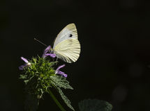 Cabbage white butterfly on a flower of Salvia Royalty Free Stock Photography