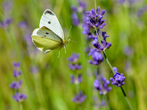 Cabbage white butterfly flying to lavender flower Stock Photography