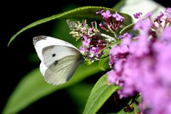 Cabbage White Stock Photos