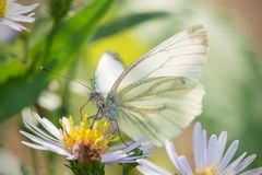 Cabbage White butterfly on a garden flower. Cabbage White butterfly or White Cabbage on a garden flower royalty free stock photography