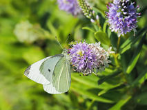 Cabbage White Butterfly On Hebe Flowers Stock Photography
