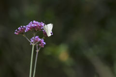 Cabbage white butterfly landed on flower on Summer day Stock Photos