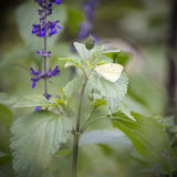 Cabbage white butterfly landed on flower on Summer day Royalty Free Stock Photo
