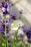 Cabbage white butterfly at the lavender Royalty Free Stock Photo