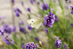 Cabbage white butterfly at the lavender drinking some nectar Royalty Free Stock Photography