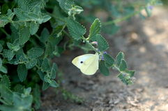 Cabbage White Butterfly on Mint Royalty Free Stock Images