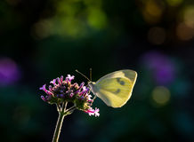 Cabbage White Butterfly on Mountain Mint Flower Royalty Free Stock Image