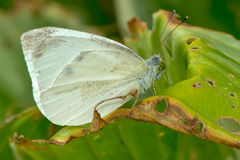 Cabbage White Butterfly Stock Image