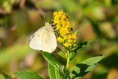 Cabbage White Butterfly - Pieris rapae. Cabbage White Butterfly collecting nectar from a yellow Goldenrod flower. Rouge National Urban Park, Toronto, Ontario royalty free stock photo