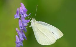 Cabbage White Butterfly - Pieris rapae. Female Cabbage White Butterfly collecting nectar from a purple Tufted Vetch flower. Todmorden Mills Park, Toronto stock photo