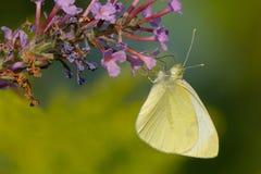 Cabbage White Butterfly - Pieris rapae. Female Cabbage White Butterfly collecting nectar from a purple Butterfly Bush flower. Urquhar Butterfly Garden, Hamilton royalty free stock photo