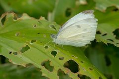 Cabbage White Butterfly - Pieris rapae. Female Cabbage White Butterfly perched on a leaf. Rostta McClain Gardens, Toronto, Ontario, Canada royalty free stock images