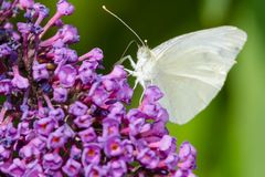 Cabbage White Butterfly - Pieris rapae. Male Cabbage White Butterfly collecting nectar from a purple Butterfly Bush flower. Rosetta McClain Gardens, Toronto royalty free stock photography