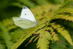 Cabbage White Butterfly - Pieris rapae. Male Cabbage White Butterfly perched on a fern leaf. Rosetta McClain Gardens, Toronto, Ontario, Canada royalty free stock images