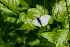 Cabbage White Butterfly - Pieris rapae. Male Cabbage White Butterfly perched on a leaf. Presqu`ile Provincial Park, Brighton, Ontario, Canada stock photography
