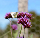 Cabbage white butterfly on purple verbena flowers Royalty Free Stock Image
