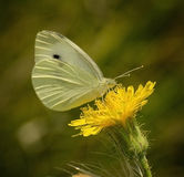 Cabbage White Butterfly. A Cabbage White butterfly resting on a yellow flower royalty free stock photography