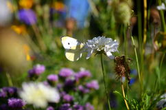 Cabbage white butterfly sitting on flower blossom Stock Photography