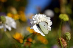 Cabbage white butterfly sitting on flower blossom Royalty Free Stock Image
