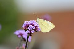 Cabbage white butterfly on verbena plant Stock Photography