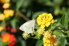 Cabbage White Butterfly on Yellow Lantana Flower Royalty Free Stock Photos