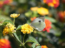 Cabbage White Butterfly on Yellow Lantana Flower Stock Photography