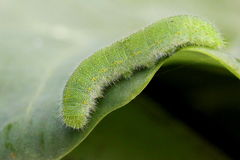 Cabbage White Caterpillar. A Cabbage White caterpillar on Collard greens Stock Photo